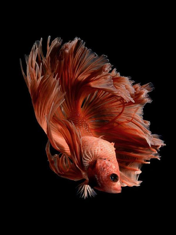 this betta fish photography is anything but basic