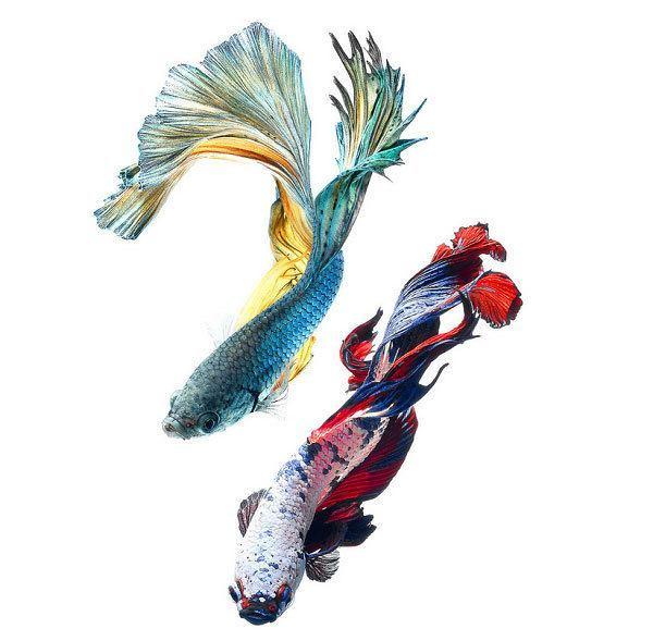 Betta Fish Partners