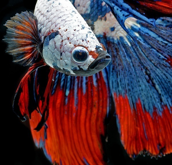 Beautiful Betta Fish