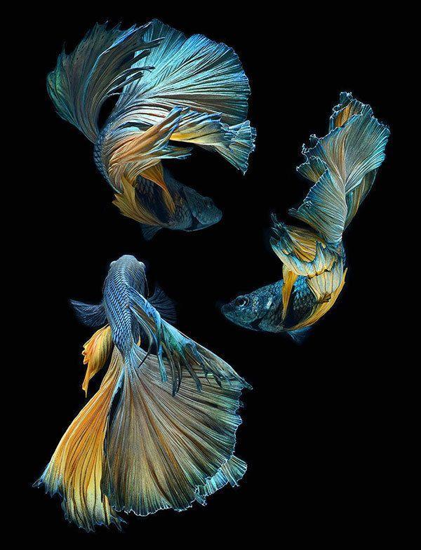 Up Close Betta Fish Photos