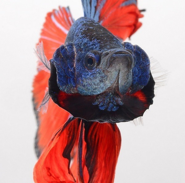 Betta Fish Photography Face