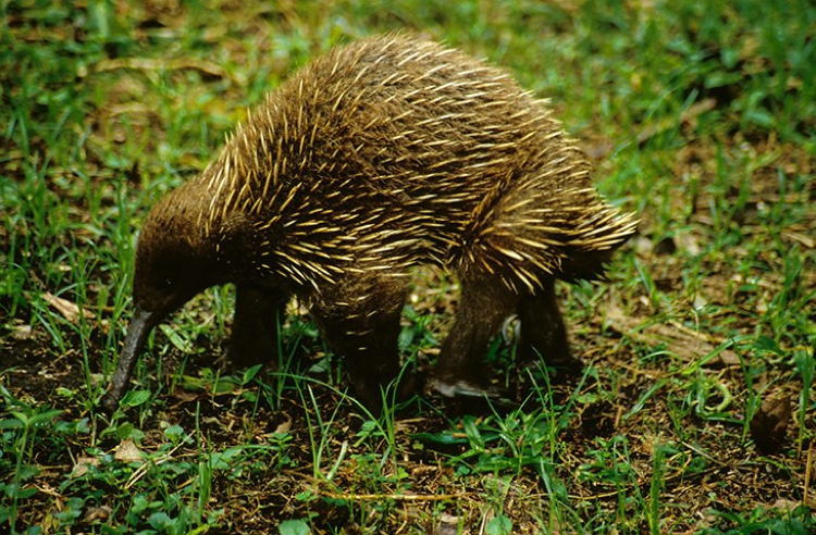 Image of: Wildlife Echidna Animals Howstuffworks 15 Endangered Animals You Should Know About