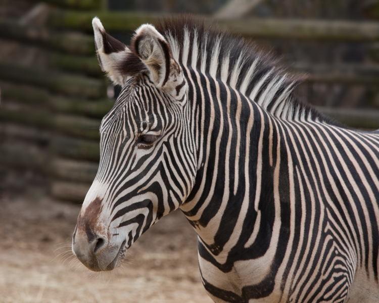 Endangered Animals Grevys Zebra