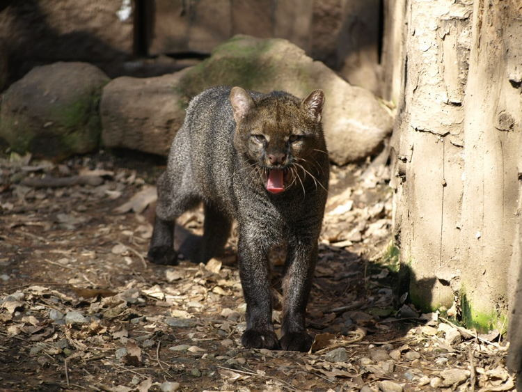 Endangered Animals Jaguarundi