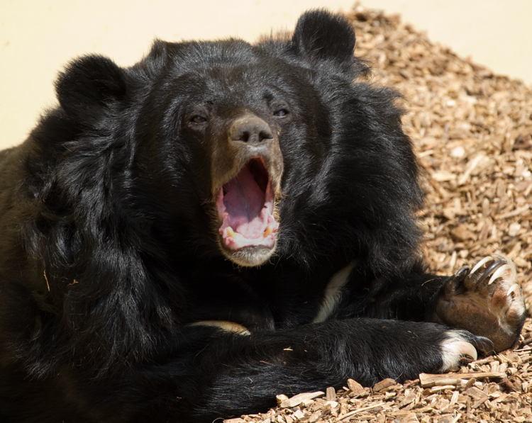 Endangered Animals Moon Bear