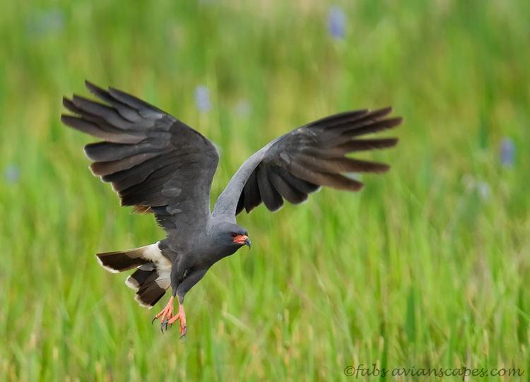 Endangered Animals Snail Kite