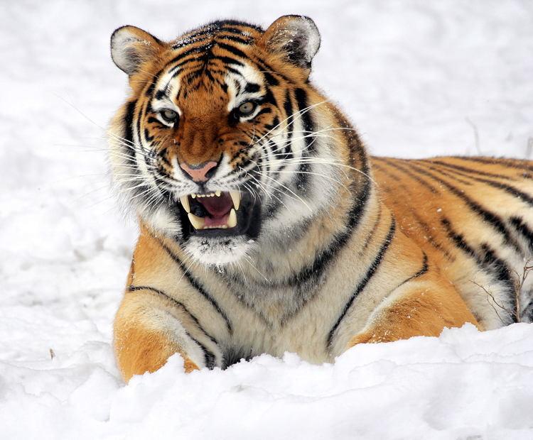 Endangered Tiger