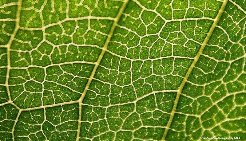 Cherry Leaf Macro Photography