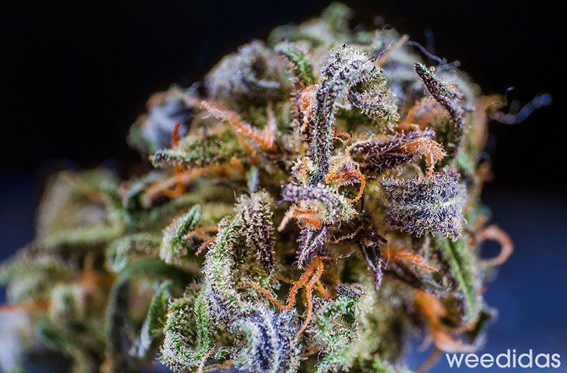 Marijuana Macro Photography