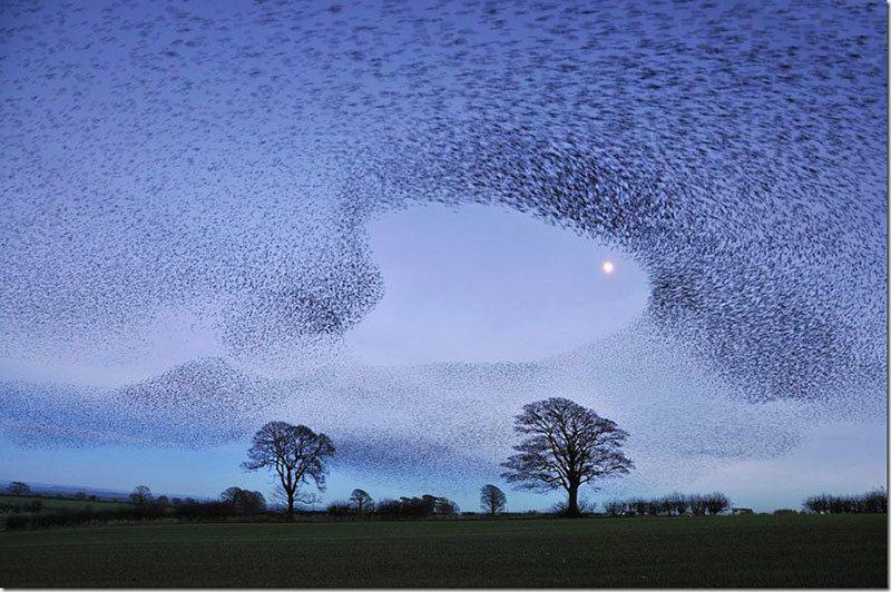 Intriguing Starling Murmuration