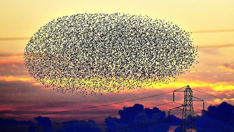 Murmuration of Starlings at Sunset