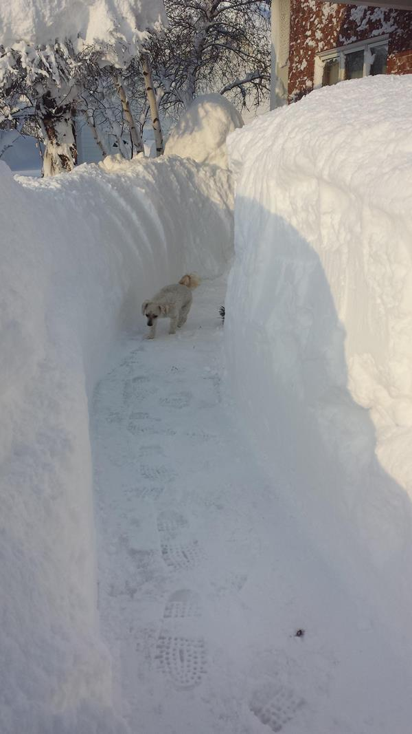 A dog navigates the heavy snowfalls in Buffalo