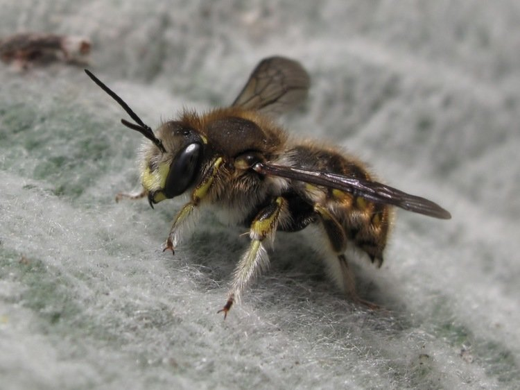 Animal Myths Bee