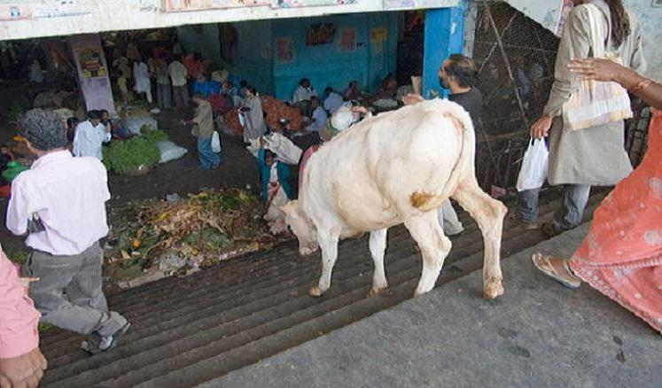 Cows Can't Walk Down Stairs