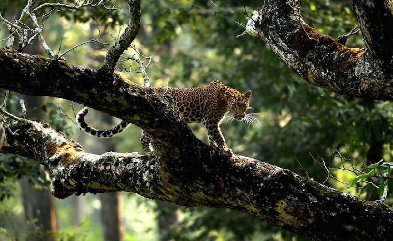 Biology Society Jaguar