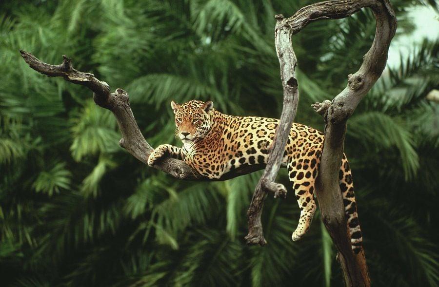 Disappearing Amazon Jaguar