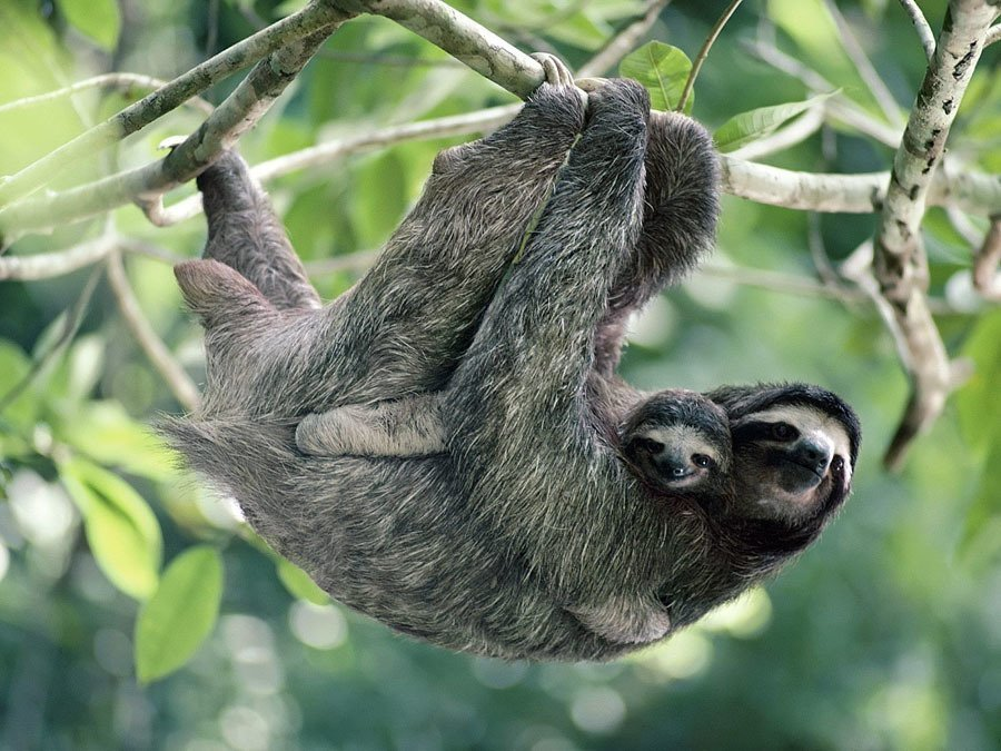 Disappearing Amazon Three Toed Sloth