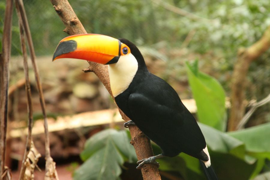 Disappearing Amazon Toucan