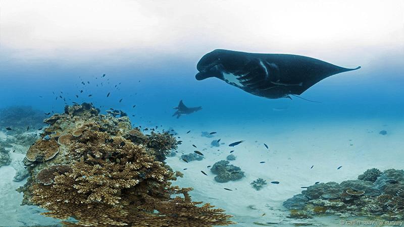 Barrier Reef Manta Ray