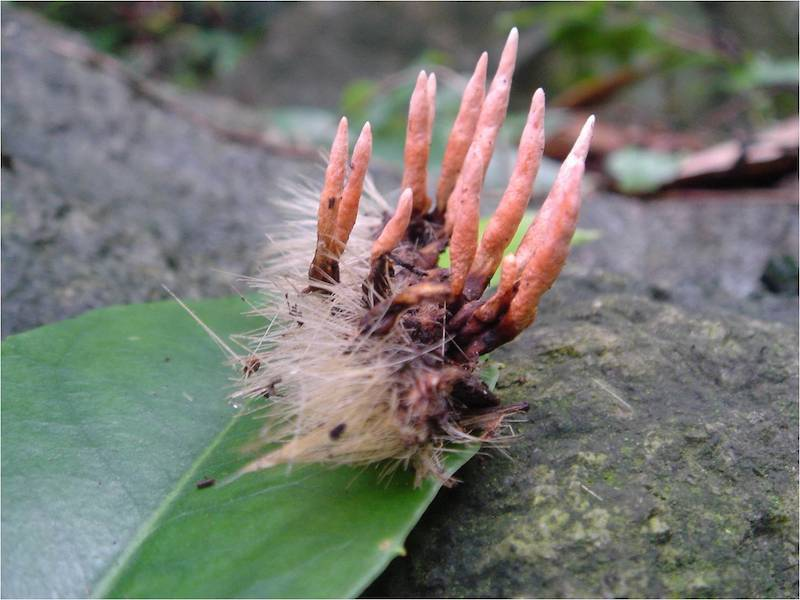 Caterpillar Infected By Cordyceps