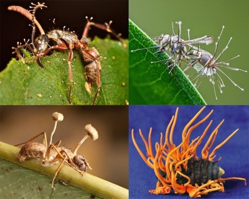 Cordyceps Pictures