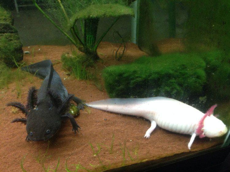 Weird Pets Axolotls