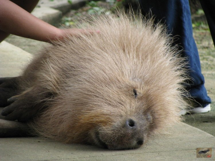 Capybaras As Pets