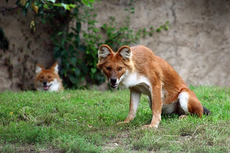 Interesting Animals Dhole