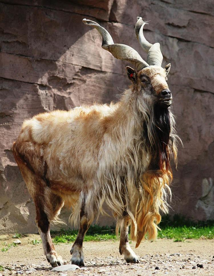 Interesting Animals Markhor