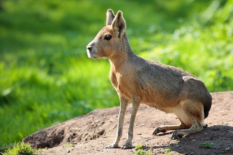 Interesting Animals Patagonian Mara
