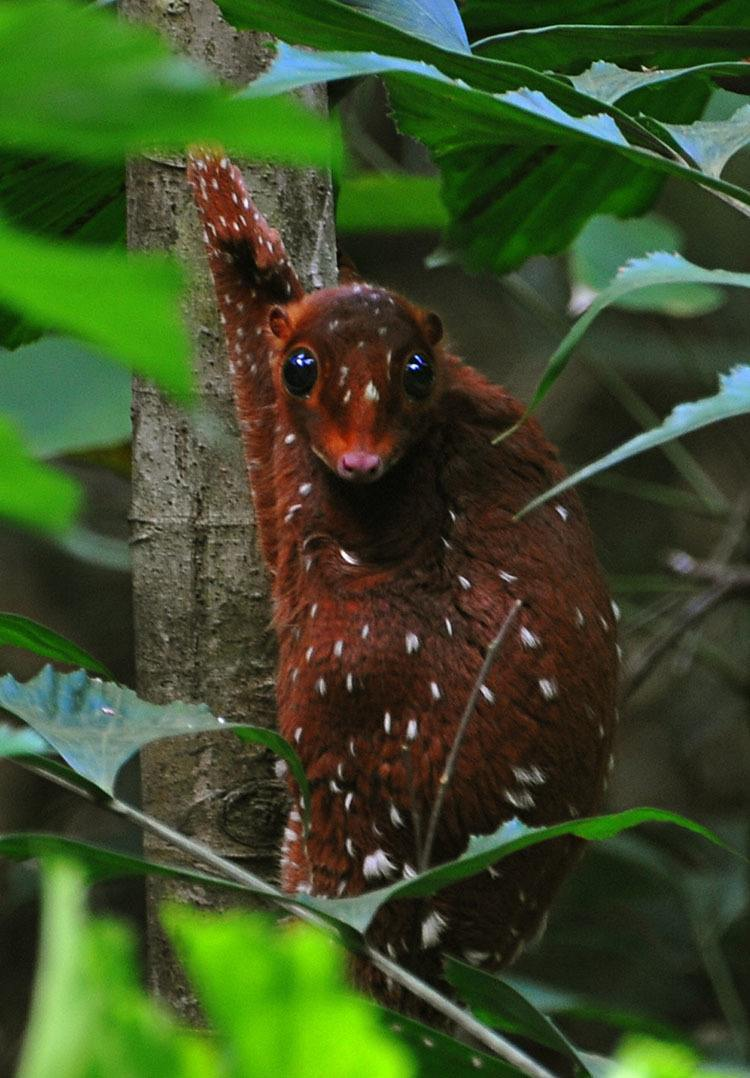 Interesting Animals Sunda Colugo