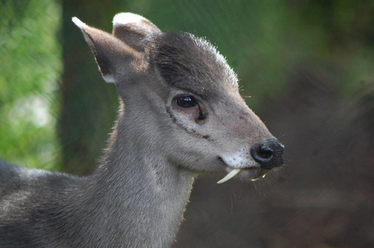 Interesting Animals Tufted Deer