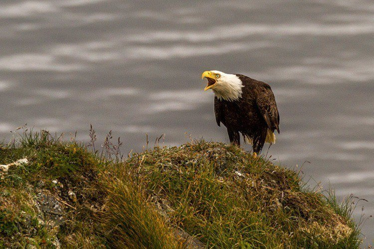 This image of a majestic bald eagle was also captured on Kodiak Island.