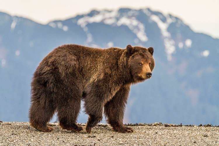 Brown Bear In Alaska Picture
