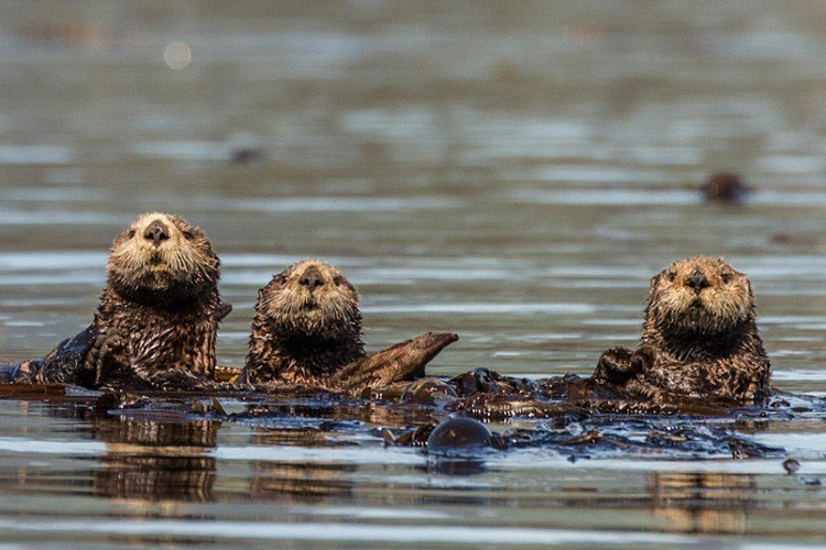Otters In Alaska