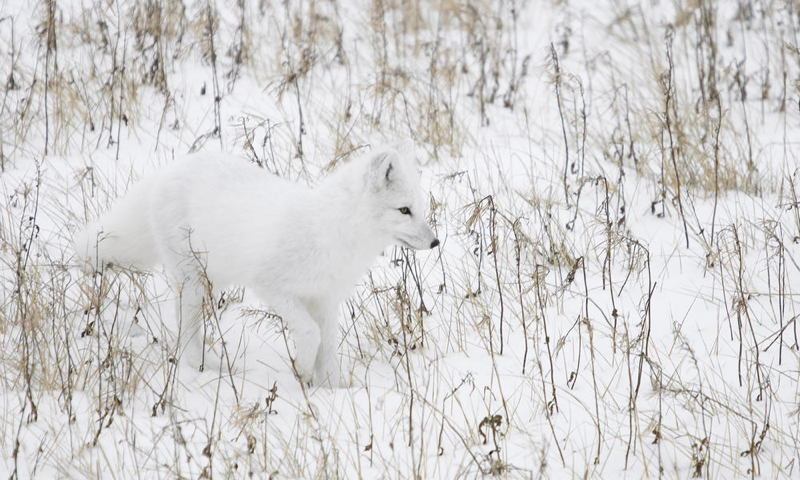 Arctic Fox Winter