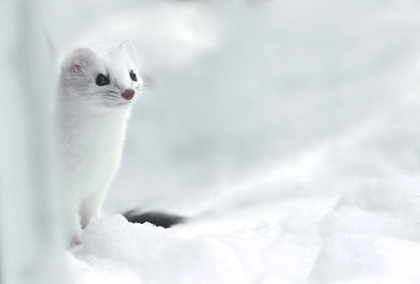 Ermine Winter
