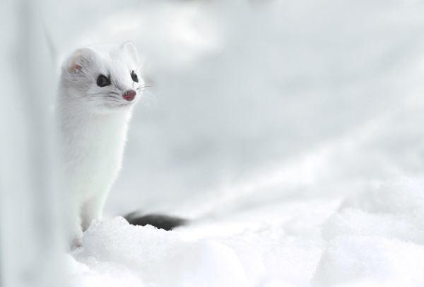 Ermine Winter