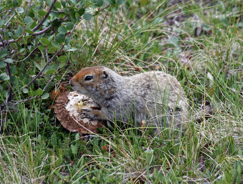 Animal Adaptations Ground Squirrel