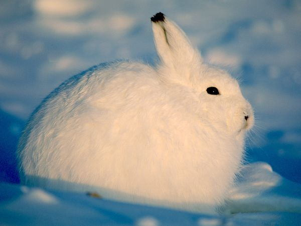 Animal Adaptations Hare Winter