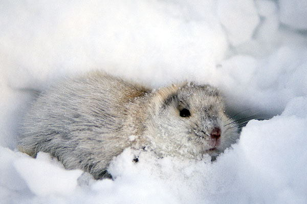 Animal Adaptations Lemming