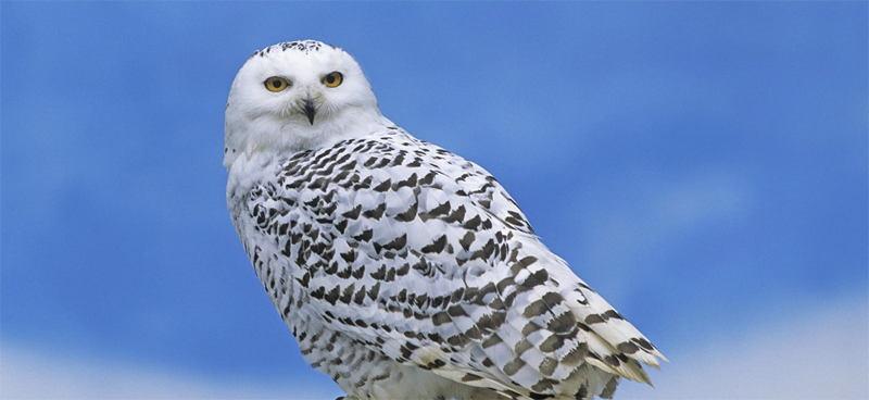Animal Adaptations Owls
