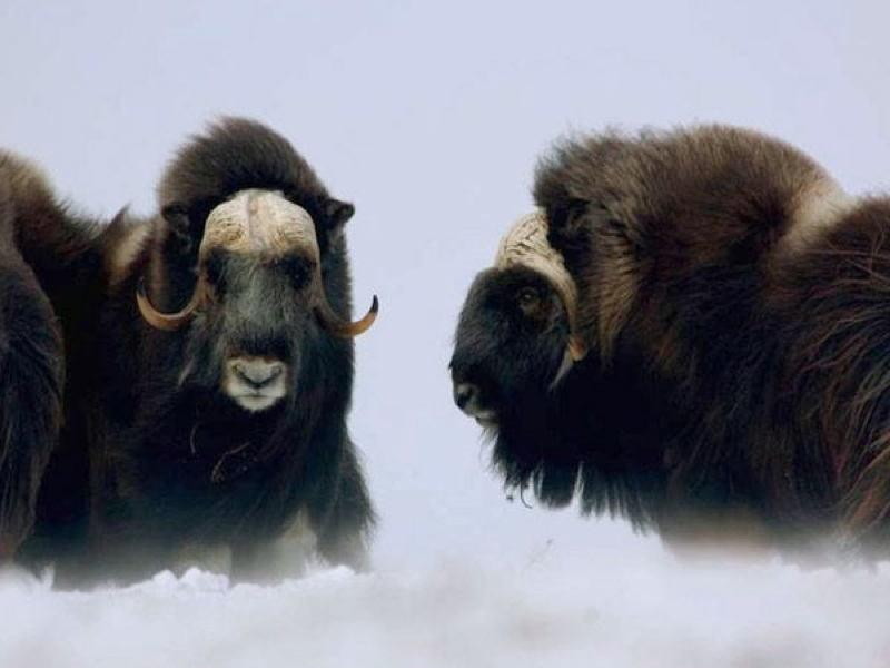 Animal Adaptations Oxen