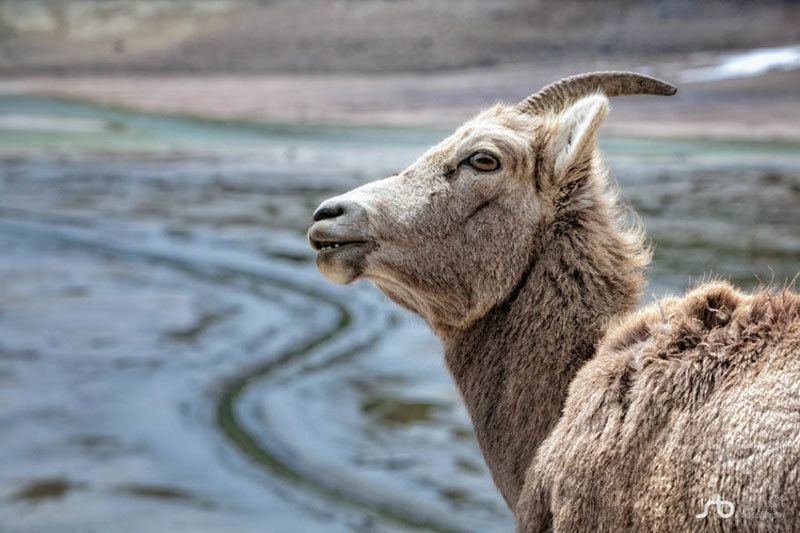 Big Horn Sheep at Jasper National Park