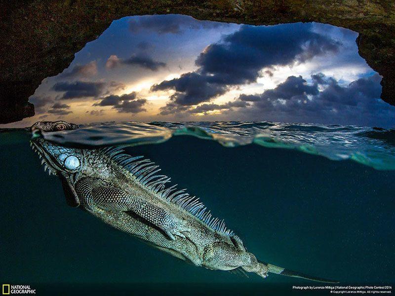 Swimming Iguana Nature Photography