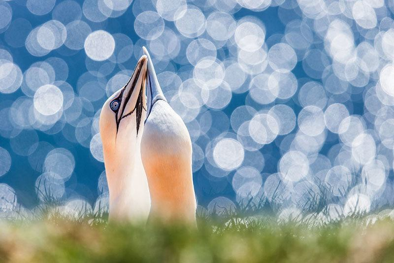 Northern Gannets Photography