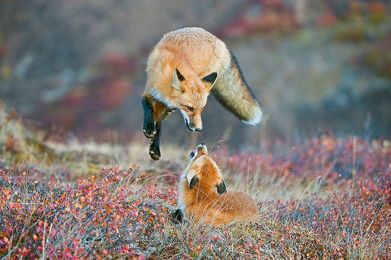 Red Fox Best Nature Photography of 2014