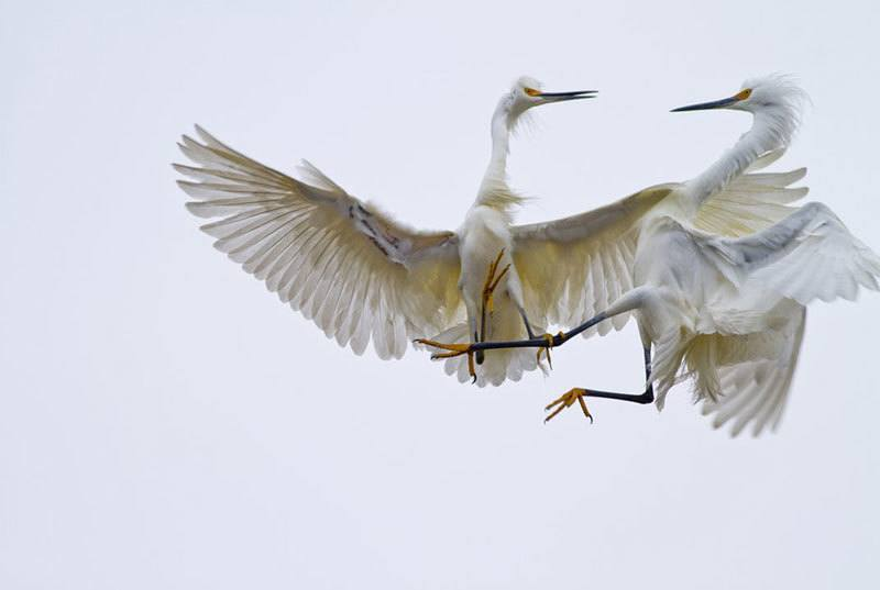 Snowy Egrets Nature Photography