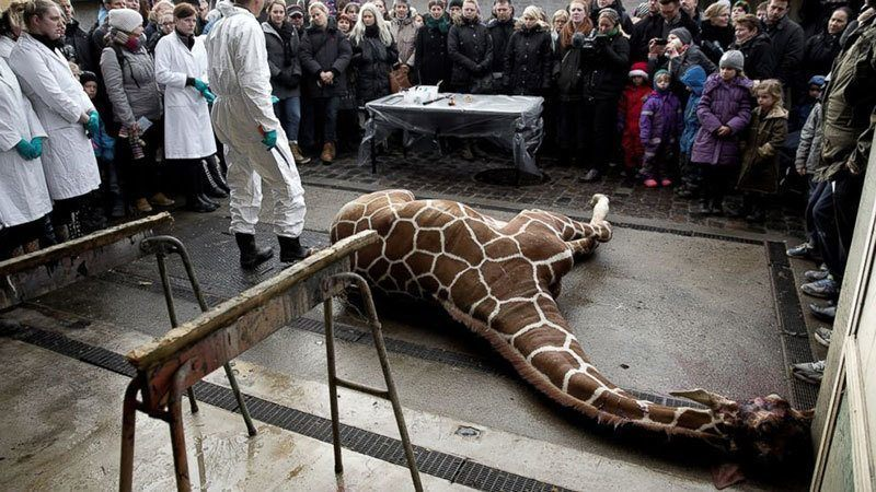 Murdered Giraffe Powerful Photos