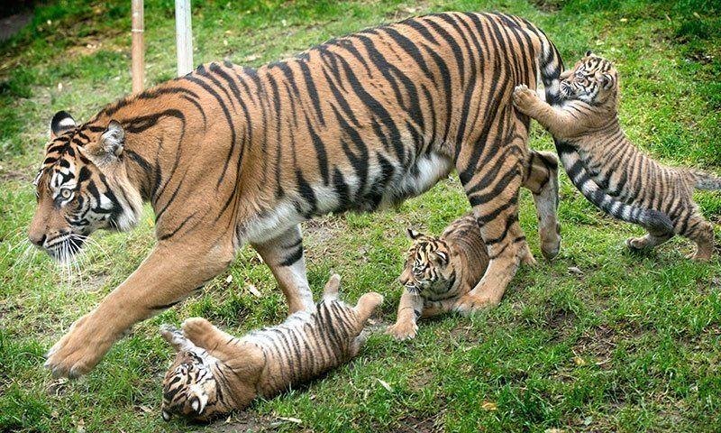 Tiger Triplets Tacoma Zoo